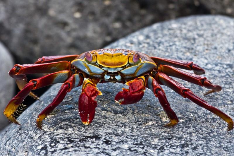 Sally lightfoot crab, Galapagos, Islands, Ecuador.