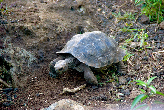 Baby Tortoises at the charles darwin research station in the galapagos islands