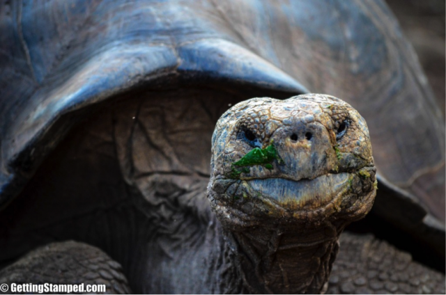 The giant land tortoises of Santa Cruz
