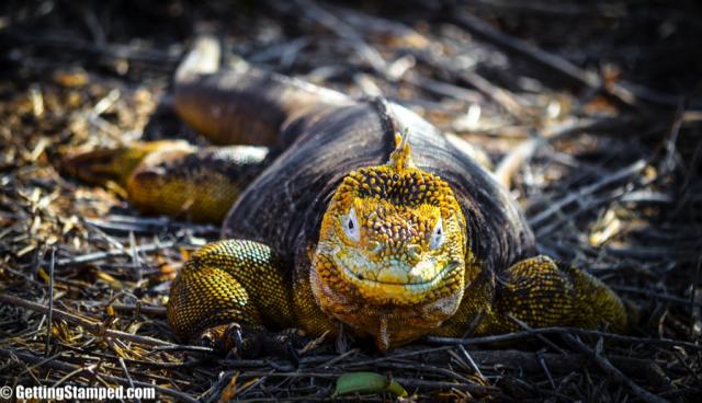 Yellow Land Iguanas of the galapagos islands