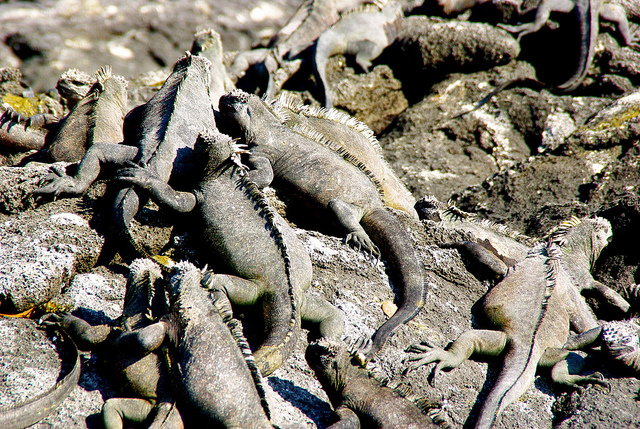 marine iguanas in the galapagos islands huddled together to stay warm