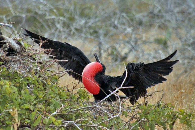 frigate bird in the galapagos islands showing off for a mate