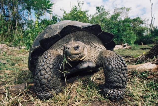 Galapagos Tortoise in the highlands