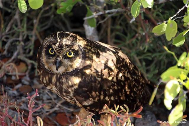 joannedibona-owl