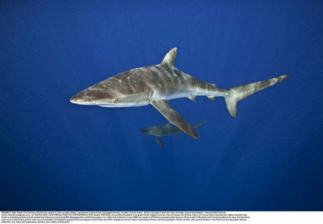 Carcharhinus falciformis identification photograph, horizontal format, hires with copy space