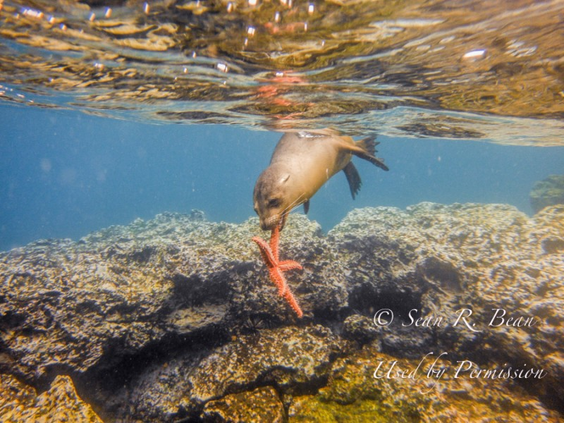 CSheppard Sean Snorkel Sea Lion 0754-