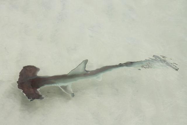 Baby hammerhead shark, Galapagos Islands