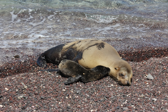 baby Sea lion in the Galapagos