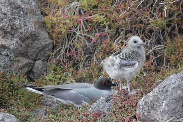 Swallow tailed gull baby