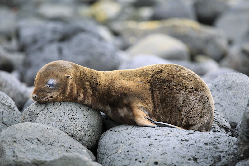 ECUADOR, Galapagos, Sealion on cliffs at South Plaza Island, sea lion pups