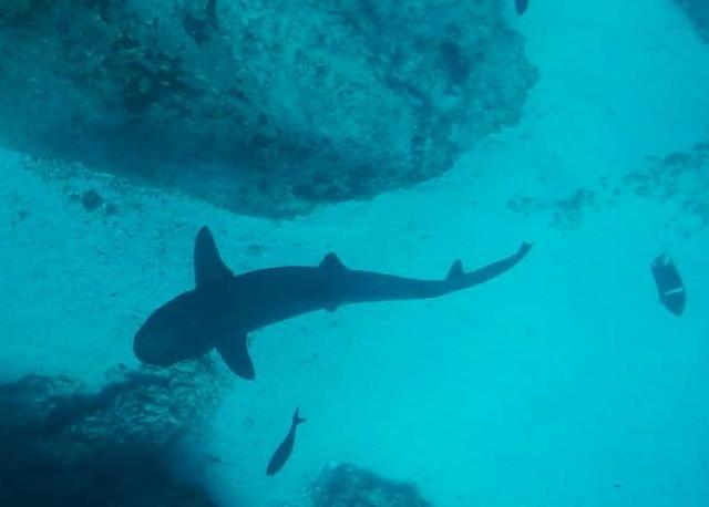 white-tip-reef-lifeasahuman