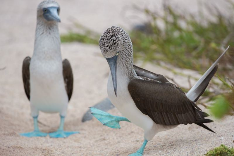 blue footed booby Galapagos Islands