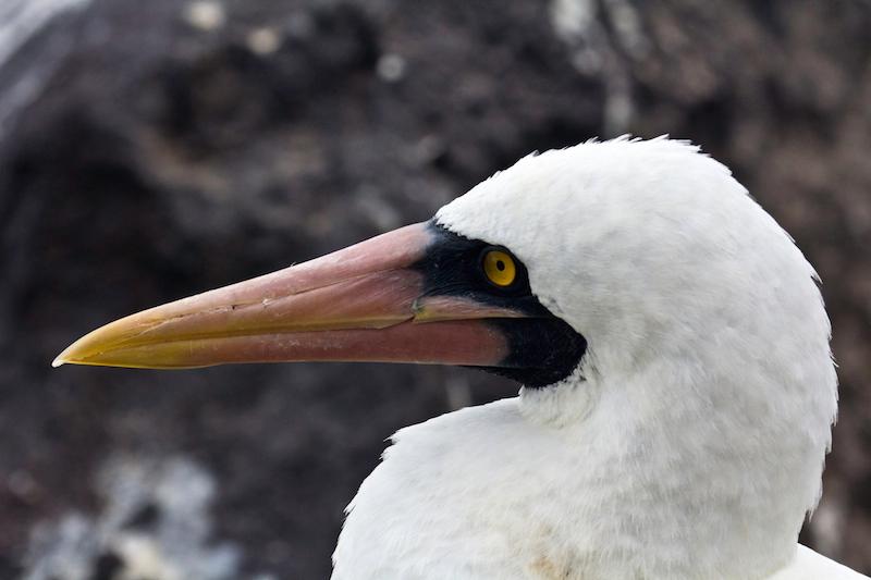 Nazca masked booby, Punta Suarez, Isla Espanola, Galapagos Islands, Ecuador.