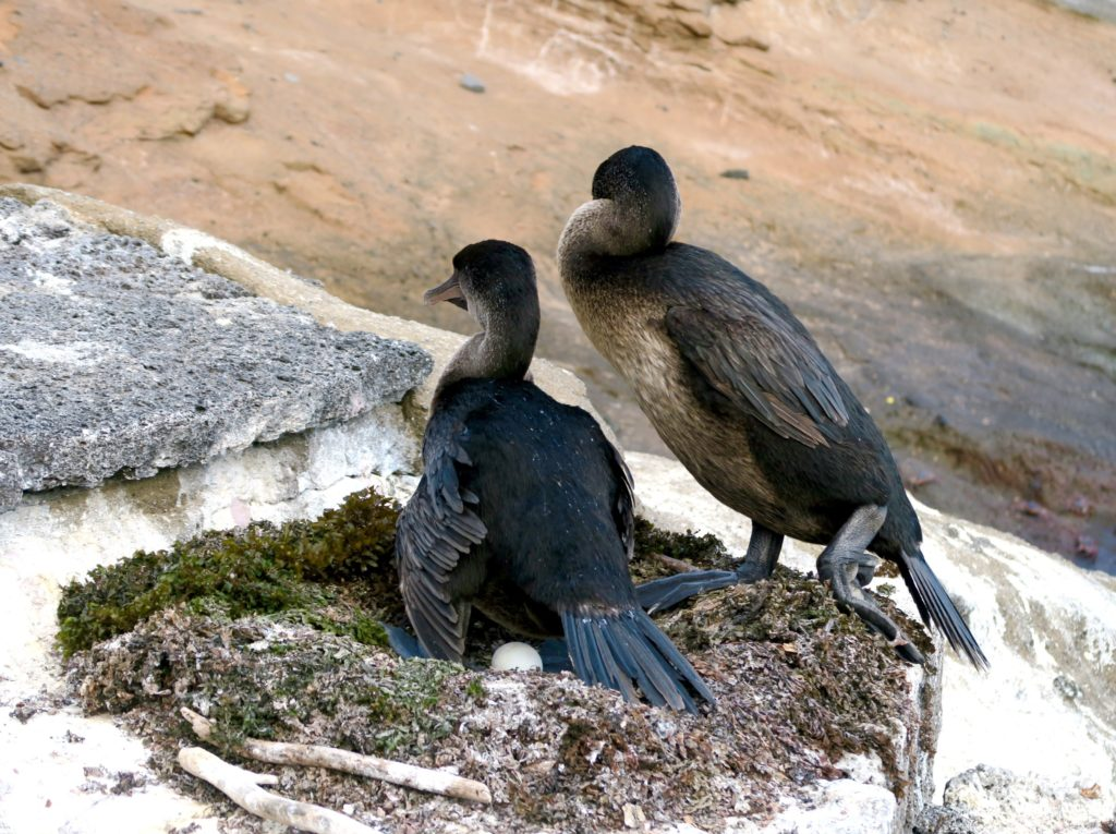 A-pair-of-Flightless-Cormorants-in-the-Galapagos-1024x765